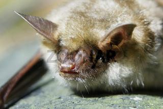 Mausohrfledermaus, Myotis myotis, mouse-eared bat