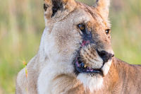 Lioness portrait with scare on her face