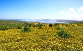 Blütezeit im West Coast Nationalpark, Südafrika, flower saison at West Coast National Park