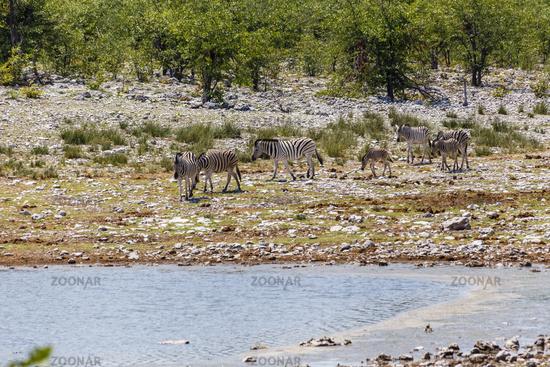 Steppenzebra, plains zebra (Burchells zebra), Equus quagga