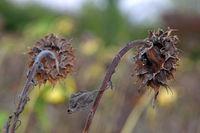 welke Sonnenblumen