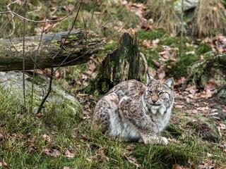 Eurasian lynx, Lynx lynx, sitting in green winter forest