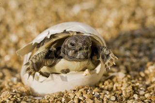 Griechische Landschildkroete (Testudo hermanni) versucht aus dem Ei zu schluepfen, Bayern, Deutschland, Europa, Hermann's Tortoise, newly hatched