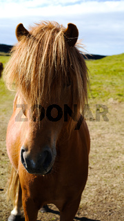 Long-haired icelandic horse