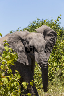 Afrikanischer Elefant, african bush elephant