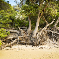 Tree Roots On Beach
