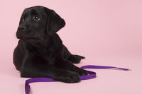 Chocolate Labrador puppy on pink background