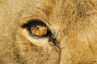 Loewenauge (Panthera leo), Savuti, Chobe National Park, Botswana, Afrika, Eye of a lion, Savuti, Chobe NP, Botswana, Africa