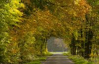 Wirtschaftsweg gesäumt mit Buchen (Fagus), Herbst