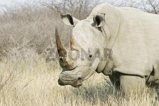 Breitmaulnashorn oder Weisses Nashorn (Ceratotherium simum) im Khama Rhino Sanctuary Park, Serowe, Botsuana, Afrika, White Rhinoceros or Square-lipped rhinoceros, Botswana, Africa