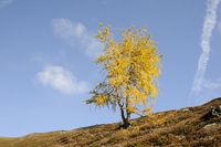 Lärche im Herbst