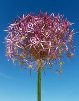 Sternkugel-Lauch, Allium cristophii