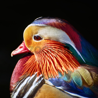 Portrait of Mandarin Duck