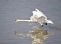 Höckerschwan beim Abfliegen auf dem Wasser
