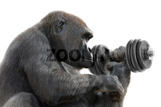 Gorilla macht Krafttraining mit Hantel