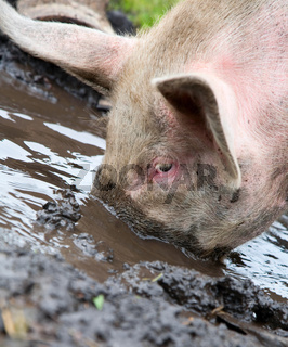 Pig sifting through puddle
