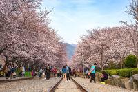 Spring Cherry blossom festival at Gyeonghwa Station, Jinhae, South Korea