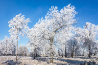 Hoarfrost covered trees