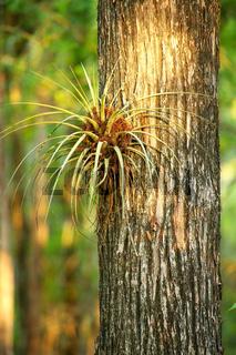 Bromeliad plant on a tree trunk