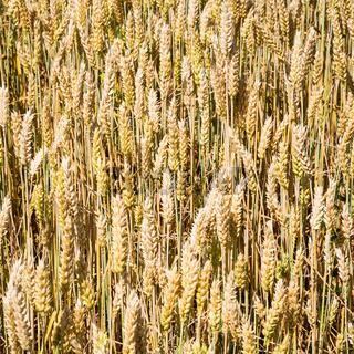 ripe wheat ears on field in Bavaria