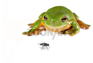 green tree frog and a fly