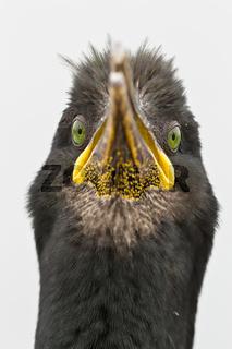 Krähenscharbenporträt (Phalacrocorax aristotelis)