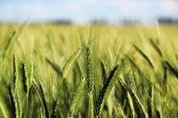 Field of ripening green wheat in late July in summer.
