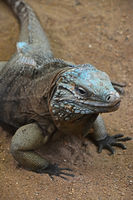 Close up portrait of blue iguana