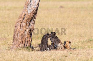 Cheetah with young cubs under a tree in the shade on the savannah