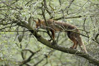 Jäger im Baum... Rotfuchs *Vulpes vulpes*