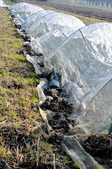Gemüseanbau unter Schutznetz von Winterlauch