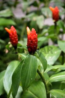 rote Blüte des Ingwergewächs Costus woodsonii