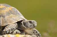 greek turtoise portrait or spur-thighed tortoise ( Testudo graeca ) over green out of focus background