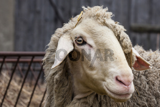 Schaf, sheep