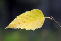 Close-up picture of a yellow leaf in autumn
