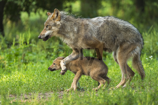 Wolf, European Gray Wolf, Canis lupus lupus