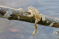 Common toad (Bufo bufo) in a wild nature