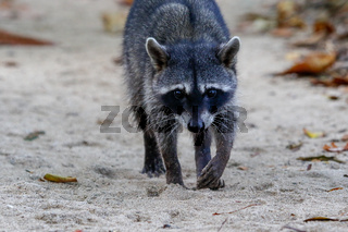 A racoon in the Cahuita National Park South Africa