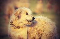 white romanian sheep hound close up