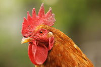 portrait of beautiful proud rooster