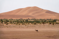 Camels walking near big dunes in desert