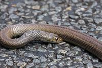 Dangerous Dugite snake lying on the road, Western Australia