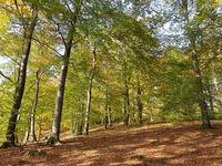 Buchenwald am Liepnitzsee im Herbst