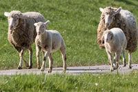 Schafe beim Joggen