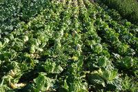 Brassica pekinensis, Chinakohl, nappa cabbage