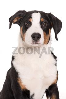 appenzeller sennenhund im portrait