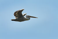 dalmatian pelican in flight over blue sky ( Pelecanus crispus )