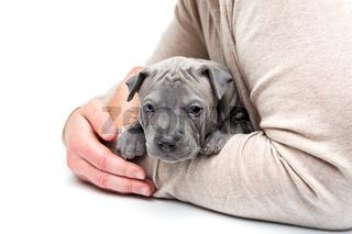 Thai ridgeback puppy sitting in man's arms