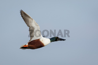 Male Northern Shoveler (Anas clypeata) in flight