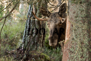 Moose or elk, Alces alces, bull standing behind a spruce
